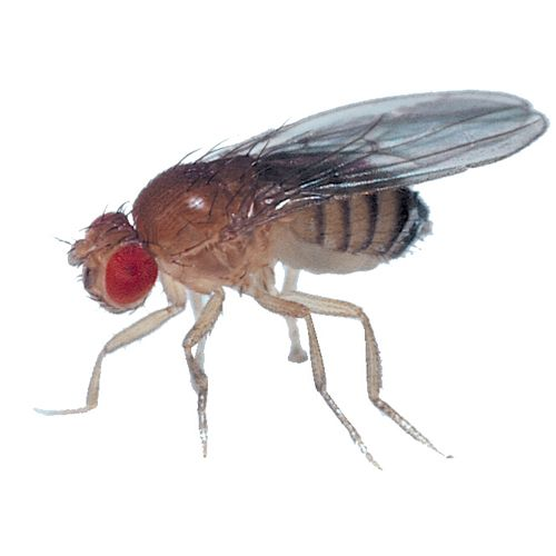 Drosophila is an excellent model organism for the study of genetics