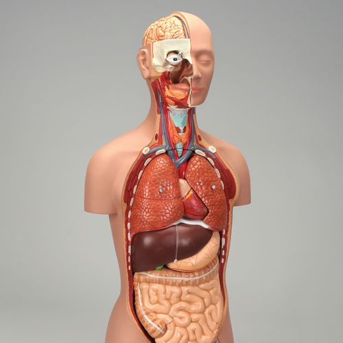 Teaching About The Human Body Systems Carolina Com