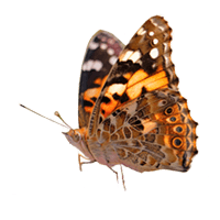 Limited time offers on science materials and supplies buy 4 butterfly cultures for the price of 3 fandeluxe Image collections