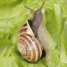 Texas Land Snails, Living, Pack of 25