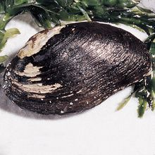 Freshwater Mussel, Living, 1-2 in, Pack of 12