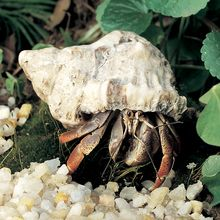 Land Hermit Crab, Living, Pack 3