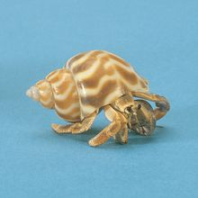Land Hermit Crab, Fancy, Living, Pack 3