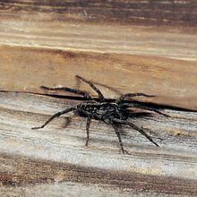 Wolf Spiders, Living, Pack of 6