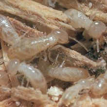 Termite Digestive Symbionts, Living, Pack of 25