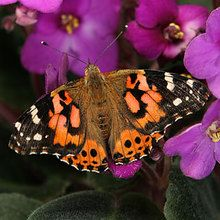 Painted Lady Butterfly Life Stages, Adult, Living