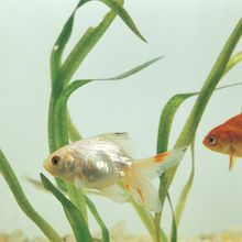 Fantail Goldfish, Living, Pack of 12