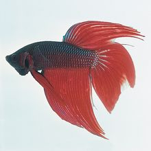 Female Betta splendens, Living