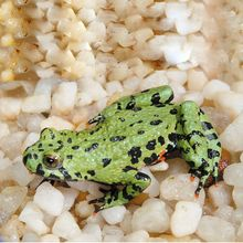 Fire-Bellied Toad, Living