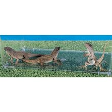 Anolis sagrei (Brown Chameleon), Living, 2-4 in, Pack 3