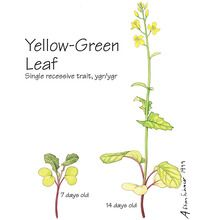 Wisconsin Fast Plants® Yellow-Green Leaf Seed (Yellow-Green), Pack of 50
