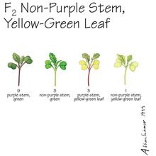 Wisconsin Fast Plants&reg; F<sub>2</sub> Non-Purple Stem, Yellow-Green Leaf Seed (F<sub>2</sub> Anthocyaninless, Yellow-Green), Pack of 250