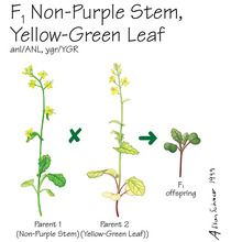 Wisconsin Fast Plants&reg; F<sub>1</sub> Non-Purple Stem, Yellow-Green Leaf Seed (F<sub>1</sub> Anthocyaninless, Yellow-Green), Pack of 200