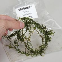 Elodea canadensis, Living, Pack of 12
