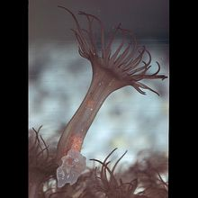 Sea Anemone (Aiptasia), Living
