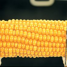 Corn Parent Ear, Yellow Starchy