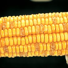 Corn Segregating Ear, Su Endosperm Alleles 3:1