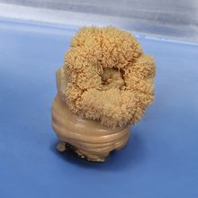 Preserved Sea Anemone (Metridium), Large, Base 2