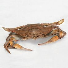 Carolina's Perfect Solution® Blue Crab, Plain