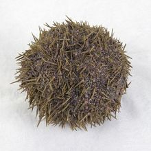 Preserved Sea Urchin, Pack of 10
