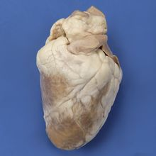Formalin Preserved Sheep Hearts