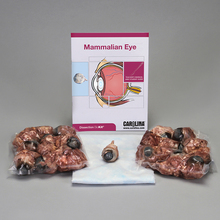 Mammalian Eye Dissection BioKit®