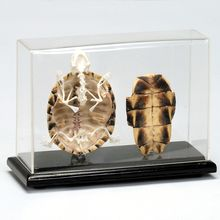 Articulated Turtle Skeleton with Cover