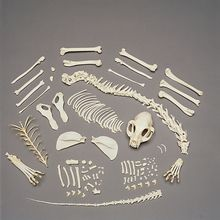 Cat Skeleton, Disarticulated