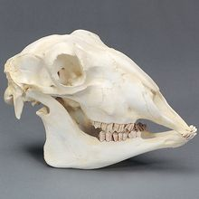 Sheep Skull, Plastic