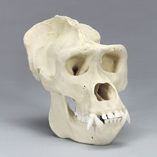 Bone Clones Gorilla Skull, Adult Male