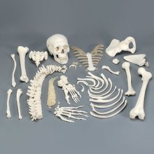 3B® Disarticulated Human Half Skeleton