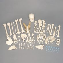 Somso® Disarticulated Human Skeleton, Number Coded
