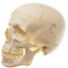 Human Male Skull, Bones Number Coded, Plastic