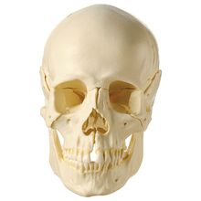 Human Demonstration Skull without Bones Color Coded, Plastic
