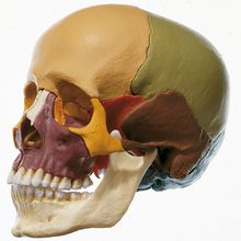 Somso Human Demonstration Skull with Bones Color Coded, Plastic