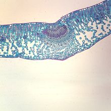 Privet Leaf Slide, c.s., 12 µm