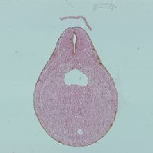 Frog Late Neural Tube, c.s Microscope Slide