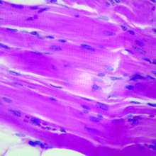 Mammal Skeletal Muscle Slide, 7 µm, H&E