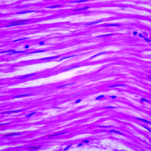 Human Smooth Muscle - Intestine, l.s. 7 µm H&E Microscope Slide