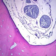 Mammal Tooth in Situ, l.s. 15 µm, H&E Microscope Slide