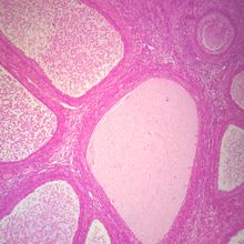 Mammal Ovary Follicles, sec. 7 µm, H&E Microscope Slide