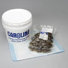 Preserved Frogs, Carolina's Perfect Solution®, 4 to 5