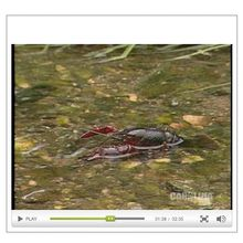 Crayfish Anatomy: An Introduction to the Class Crustacea Video