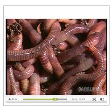 Earthworm Anatomy: Introduction to the Class Annelida Video
