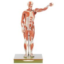 Somso® Human Male Muscular Model, Removable Muscles