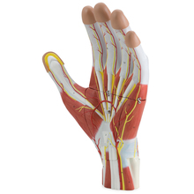 Altay® Anatomy of the Human Hand Model
