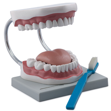 Altay® Human Oral Hygiene Model