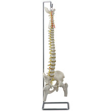 Altay® Human Flexible Vertebral Column Skeleton with Femur Heads