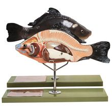 Somso® Bony Fish Model