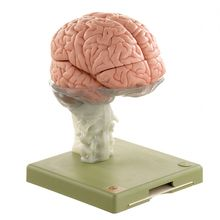 Somso® Human Brain Model, 15 Parts